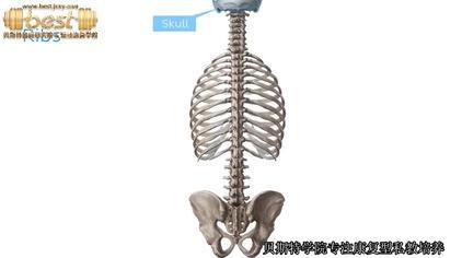 位置 肋骨