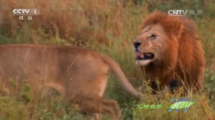 人与自然:发情雌狮路过超级狮群,两名雄狮头领展开一场激战