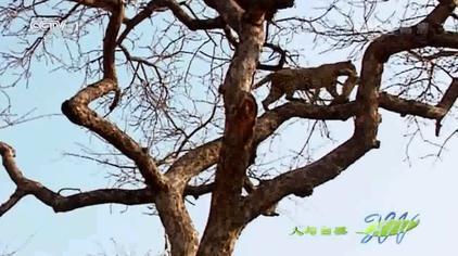 人与自然:实拍豹子爬树捕食猴子,全程技术含量太高!一起来看