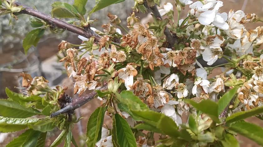 山东多年不遇的倒春寒,把果树花都打蔫了,果农心里拔凉拔凉的