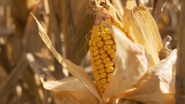 176万吨!中国向美国发出一张玉米大订单,为何突然加大采购?