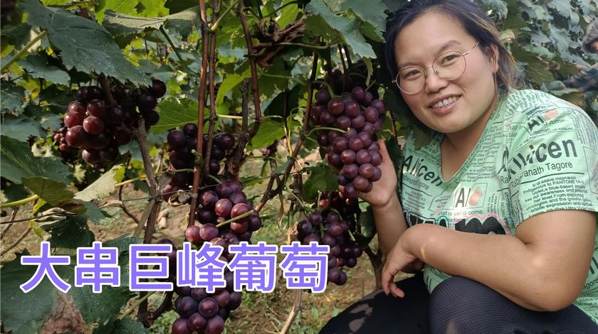 沂源巨峰大串葡萄,果实饱满甜度高,姐夫在地里大吃特吃特解馋