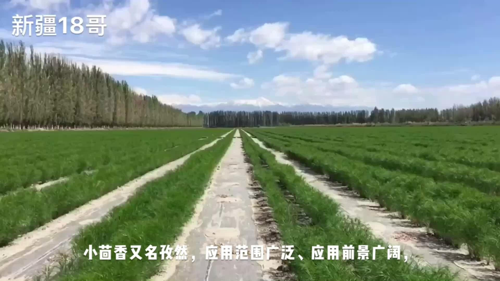新疆和静县是小茴香的重要产地,是当地农业的特色经济作物之一。