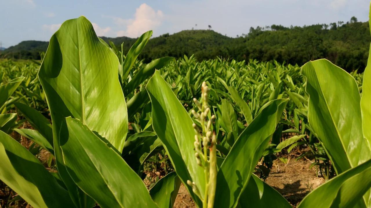 全网来猜吧,看大家知不知道是什么农产品,猜中奖大竹笋