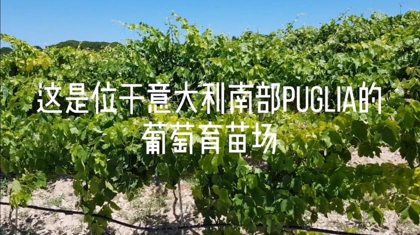 酿酒葡萄的根苗和育苗场