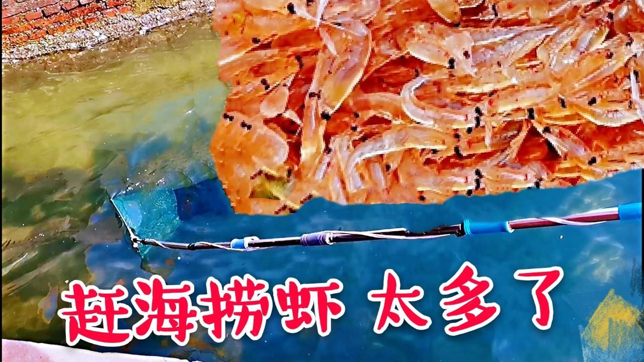 威海海边一抄网上来100多个【虾】,赶海只有这种地方有,太多了