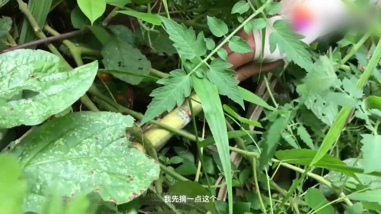 村里都是这些原生态野生果,在农村你想吃水果就去摘,绿色无公害