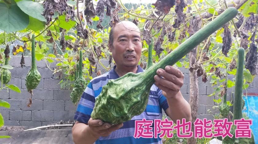 沂源农村叶老汉,庭院种植收入可观,这种东西有认识的吗?