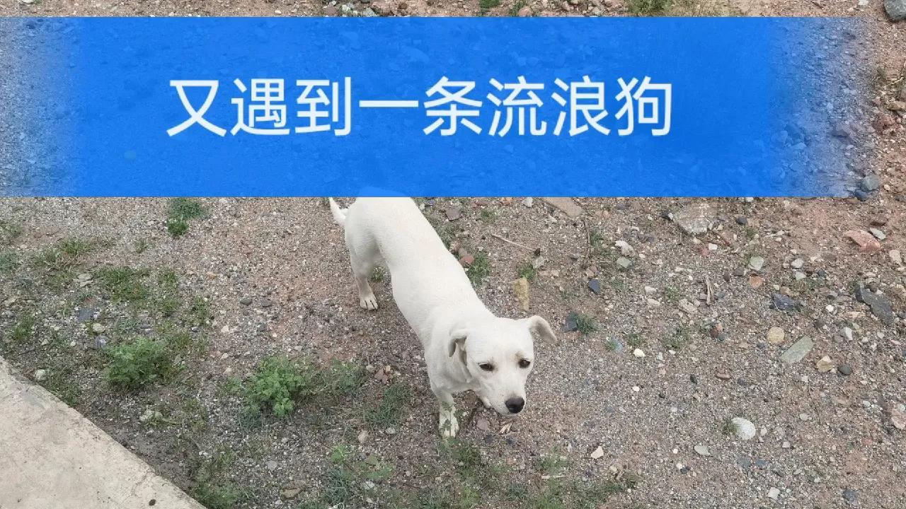 徒步去拉萨的路上又遇到一条流浪狗,内心纠结了要不要收养它?