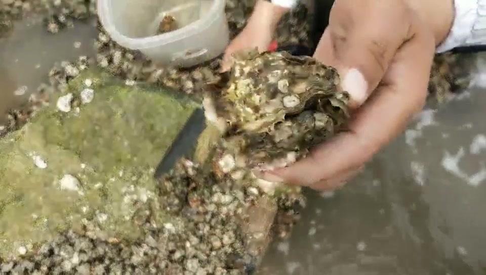 大潮去赶海,天津东疆港遍地全是海蛎子和发财蟹,很快就捡一大桶