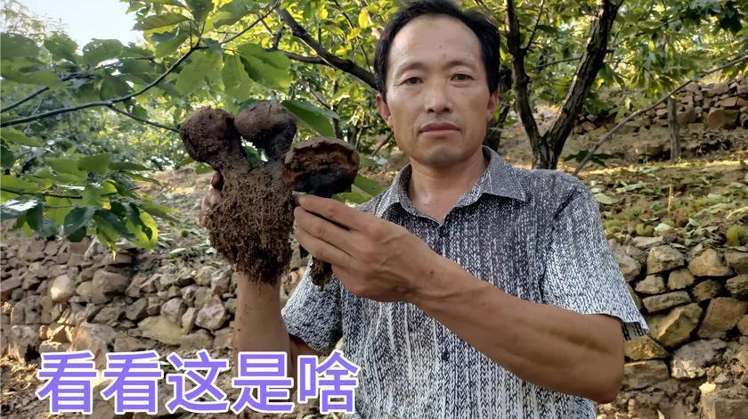 沂源板栗树下,发现不明菌种,连七旬老汉都不认识,有认识的吗?