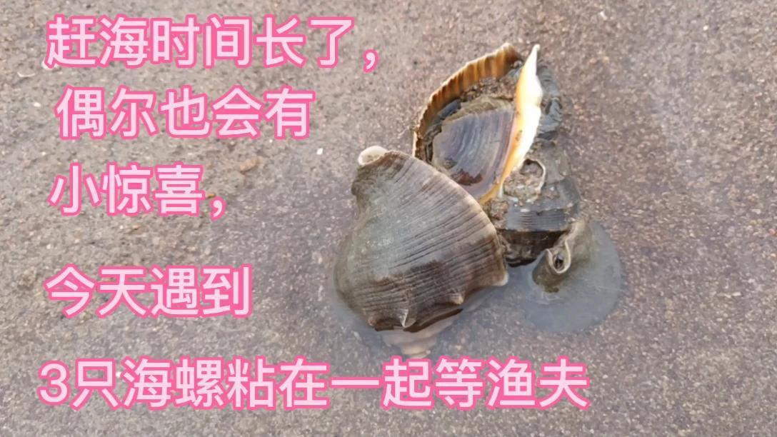 赶海时间长了,偶尔也会有小惊喜,今天遇到3只海螺粘在一起等渔