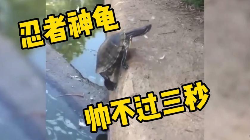 乌龟奋力爬出水池,可惜帅不过三秒