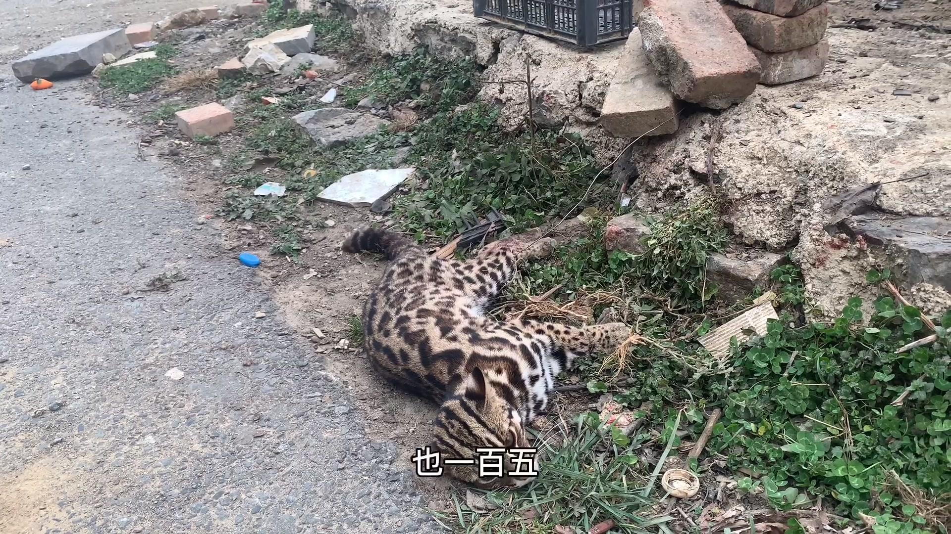 大山里的村民抓的野味,从来没见过的动物还有大猫,看看他咋说